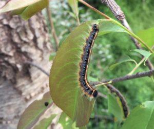 Eastern tent caterpillar feeding on a cherry leaf. Photo: SD Frank